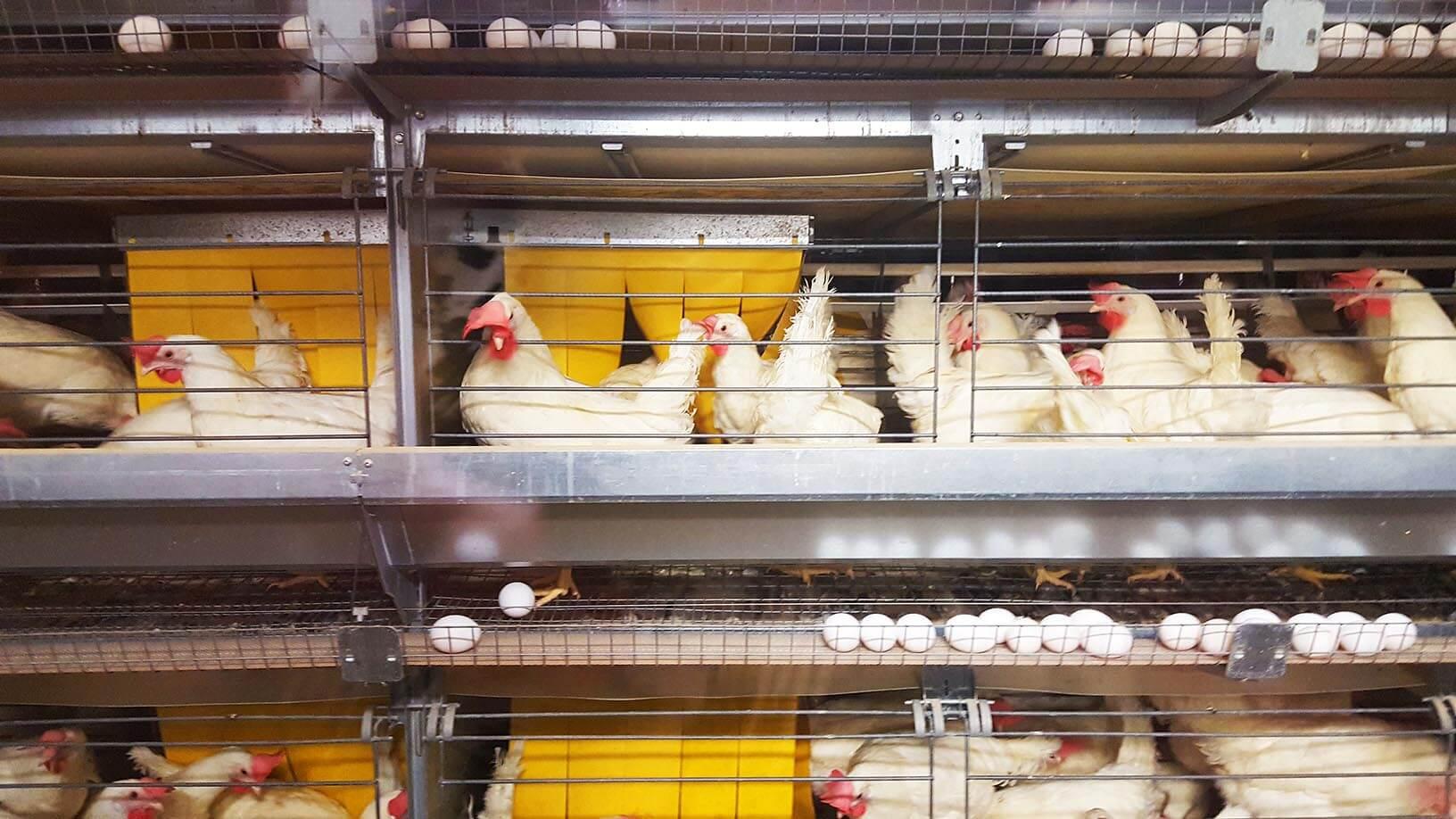 furnished chicken housing
