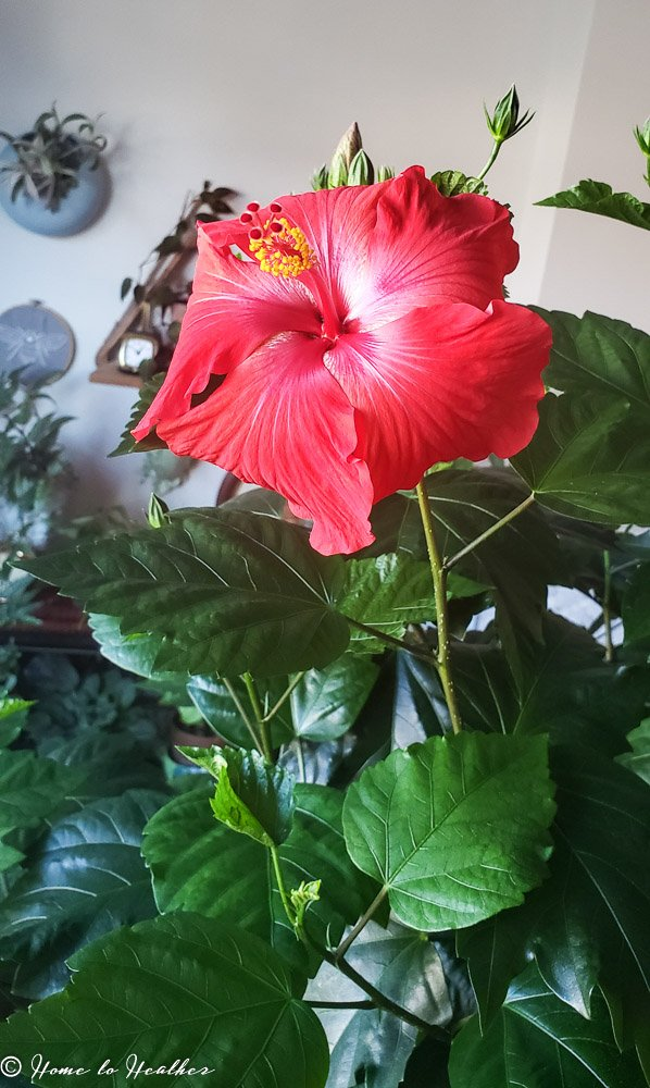 Spider Mites On Hibiscus Plants Indoors